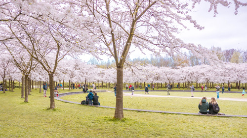 Cherry Blossom Park in the Amsterdam Forest