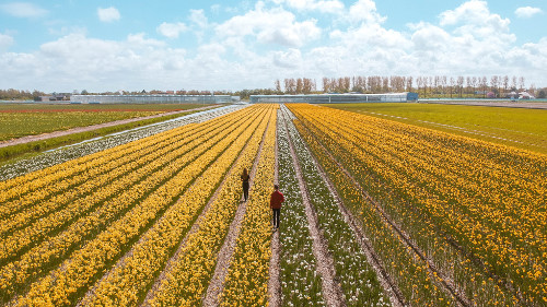 Daffodil field in Noordwijkerhout, the Netherlands