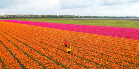 Best tulip fields in the Netherlands in Flevoland