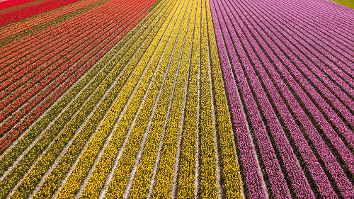 Tulip Fields in Flevoland, the Netherlands